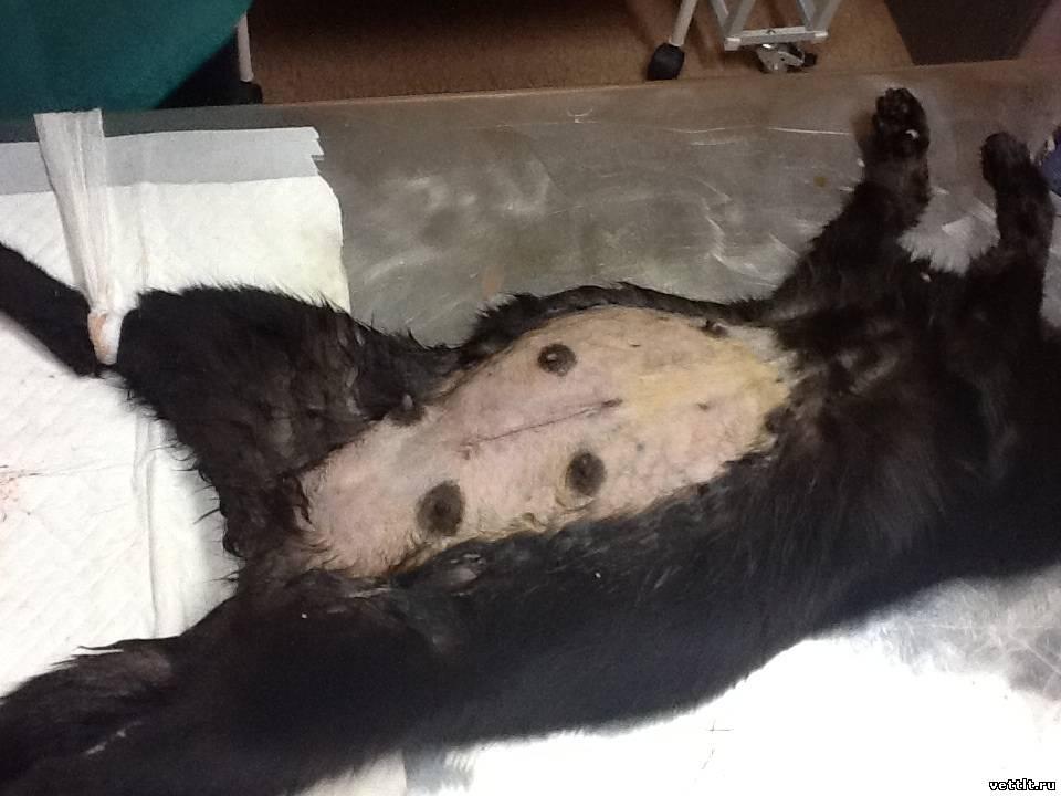 йены кесарево сечение у кошки техника операции границей